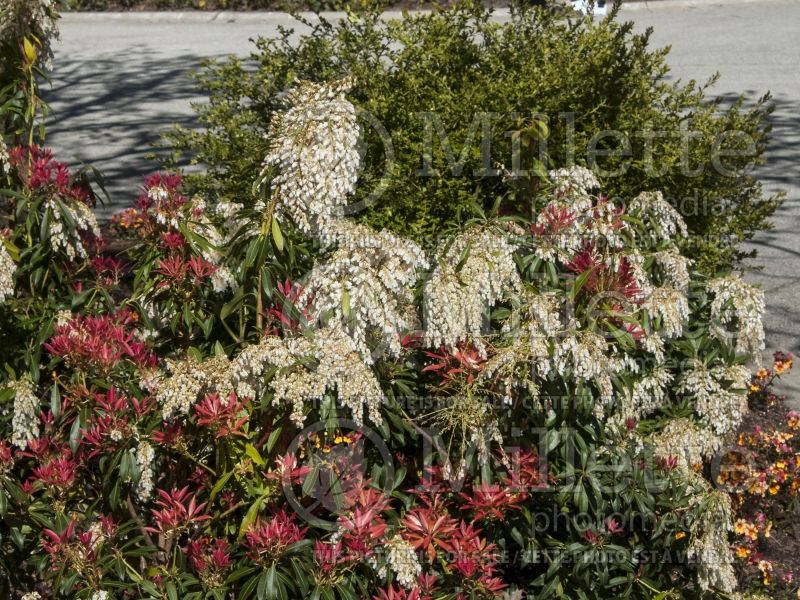Pieris Forest Flame (Andromeda Pieris) 3