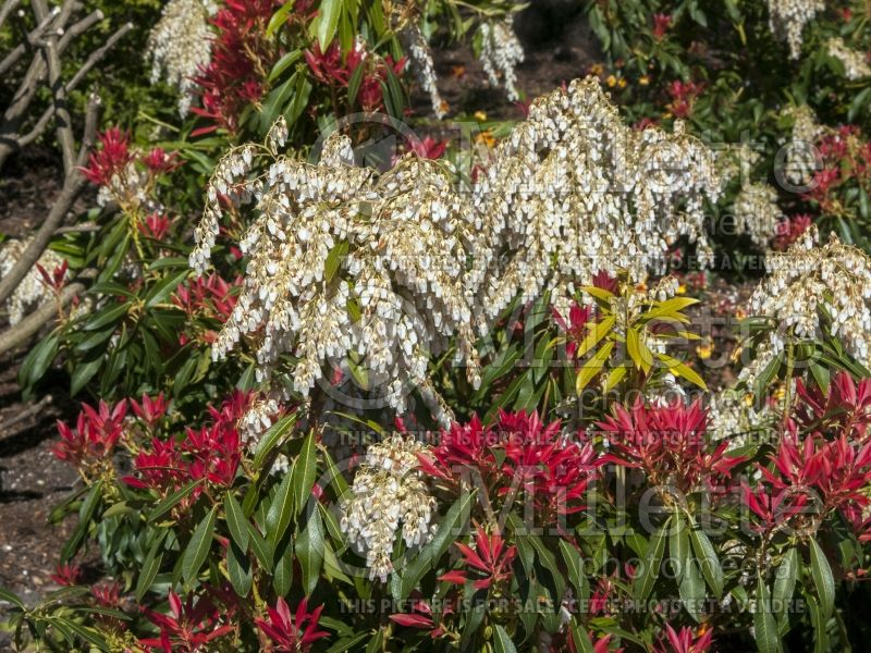 Pieris Forest Flame (Andromeda Pieris) 2