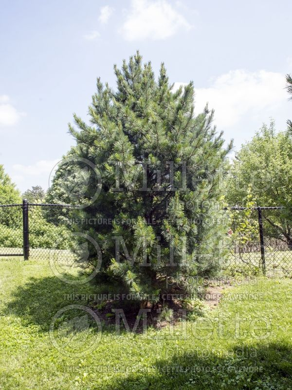 Pinus cembra (Swiss Pine conifer) 9