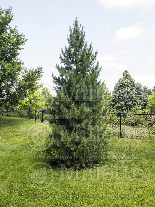 Pinus cembra (Swiss Pine conifer) 11