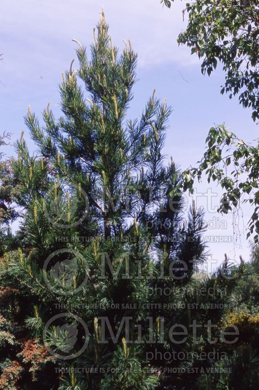 Pinus cembra (Swiss Pine conifer) 4