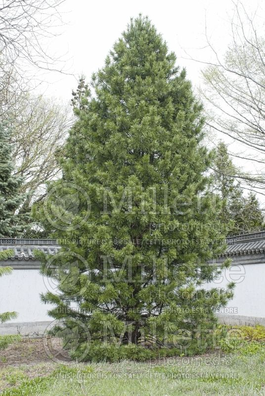 Pinus cembra (Swiss Pine conifer) 5