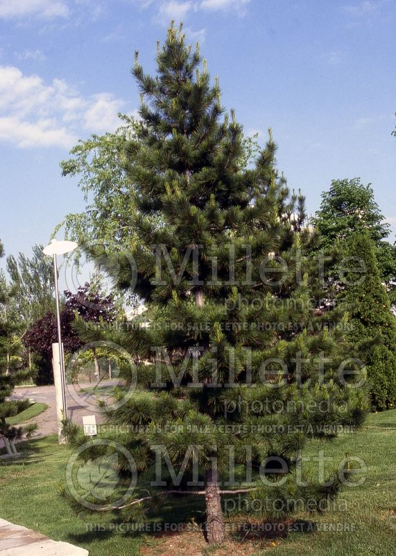 Pinus cembra (Swiss Pine conifer) 6