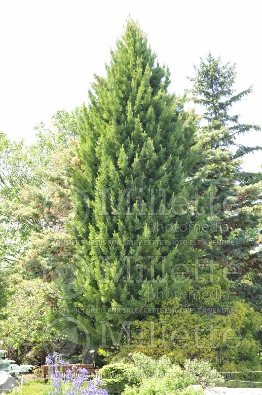 Pinus cembra (Swiss Pine conifer) 7