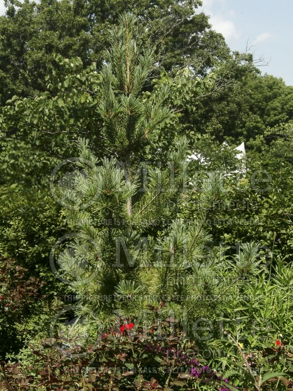 Pinus Vanderwolf's Pyramid (Limber Pine conifer) 2