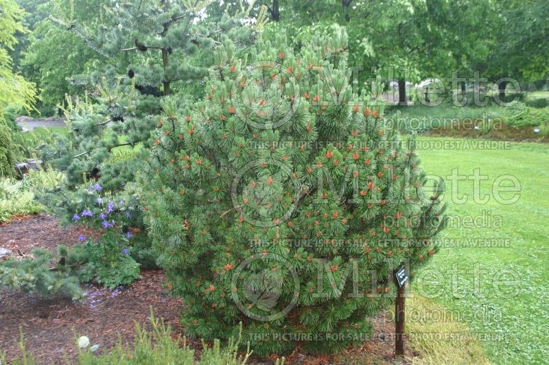 Pinus Big Tuna (Pine conifer) 8