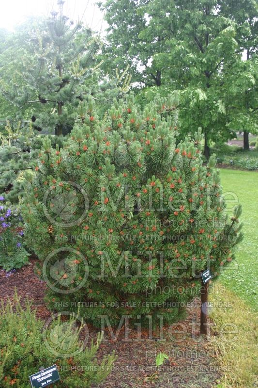 Pinus Big Tuna (Pine conifer) 5