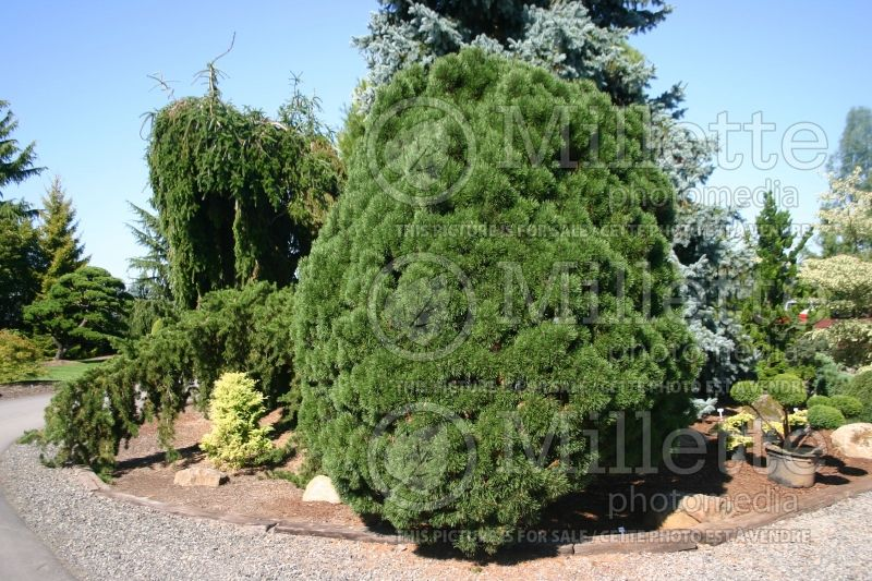 Pinus Big Tuna (Pine conifer) 6