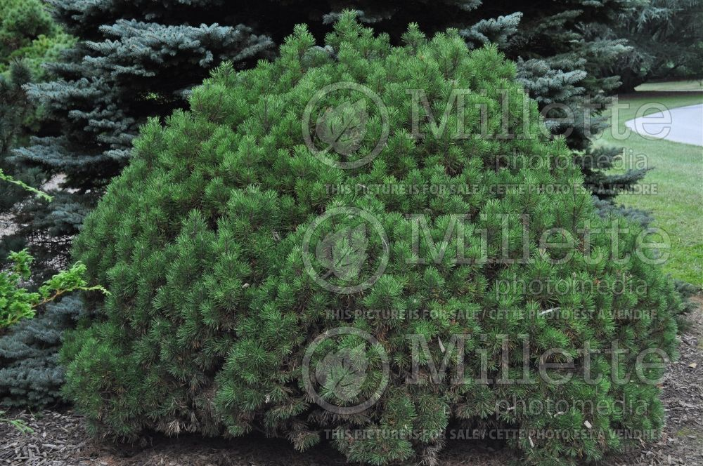 Pinus Mops (Pine conifer - pin) 14
