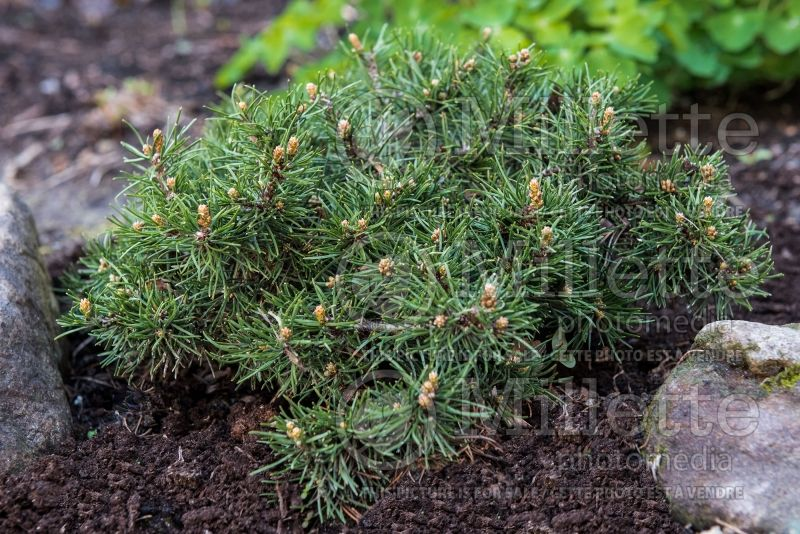 Pinus Short Needle (Pine conifer) 3