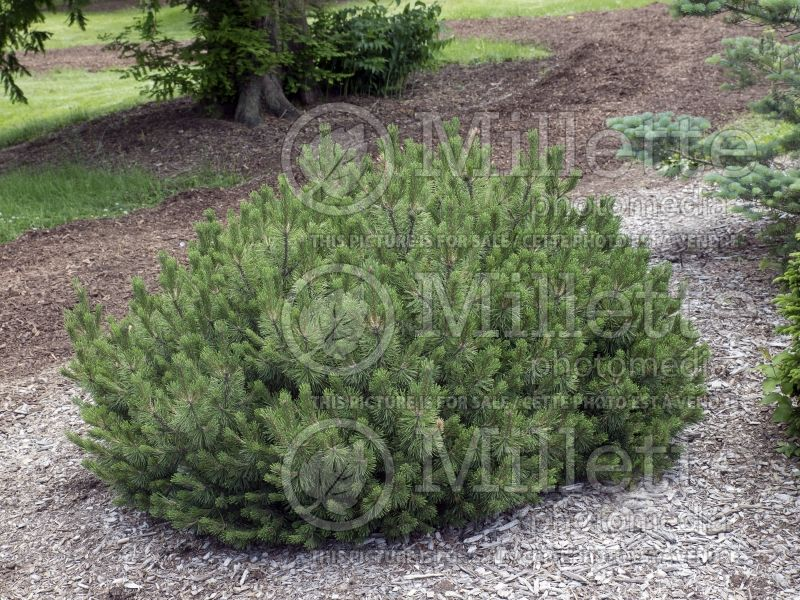 Pinus Slowmound (Pine conifer) 3