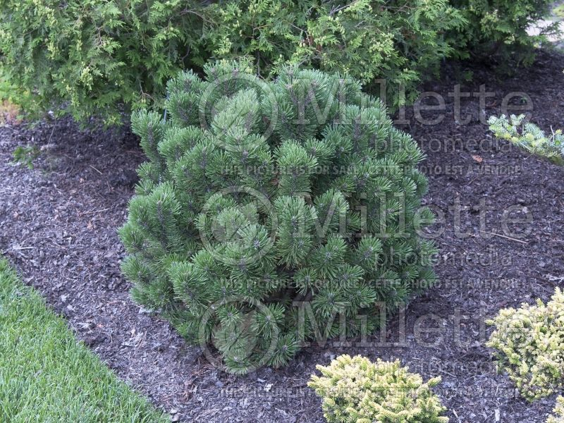 Pinus Teeny (Pine conifer) 6