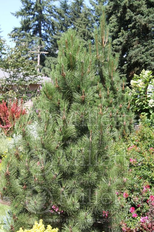 Pinus Oregon Green (Pine conifer) 1
