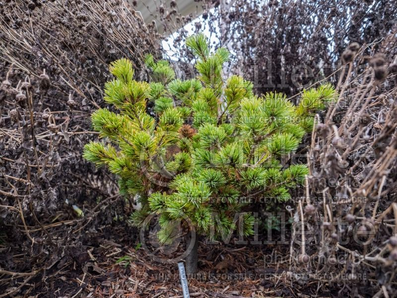 Pinus Hagoromo (Japanese White Pine conifer) 4