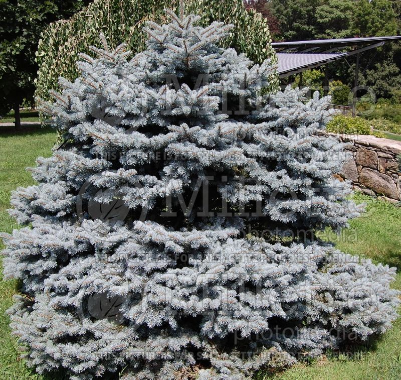 Pinus Hunnewelliana (Pine conifer) 1