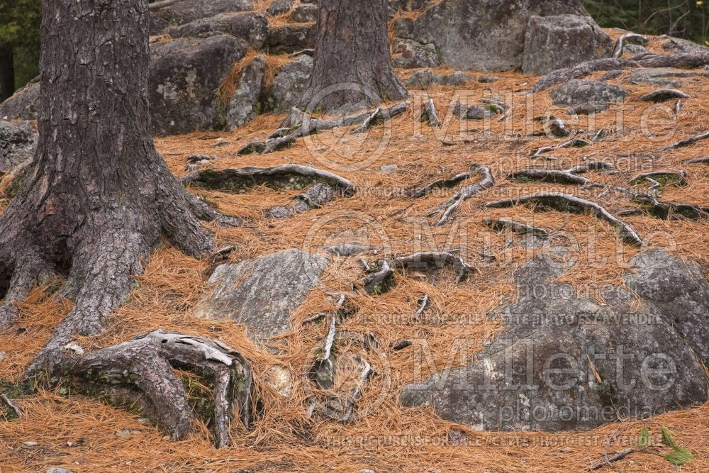 Pinus resinosa Pine tree needles and exposed roots and outcrops caused by soil érosion 1