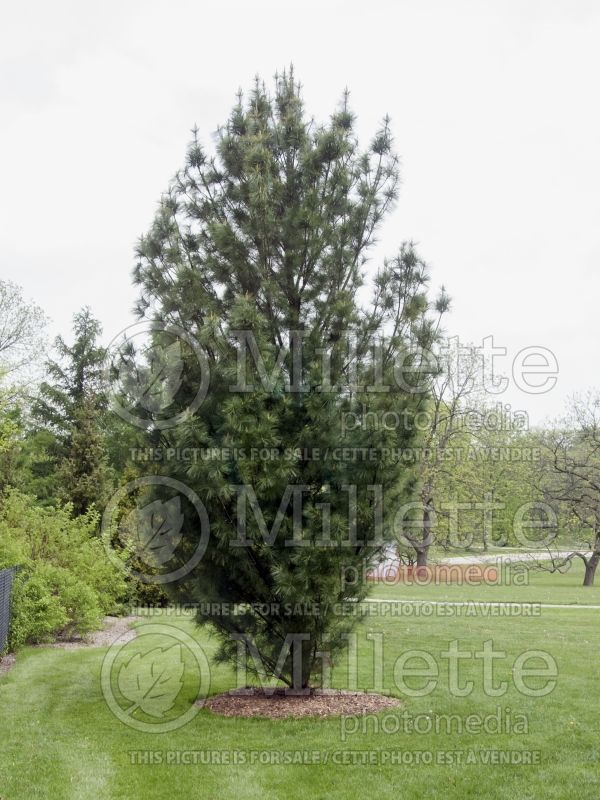 Pinus Fastigiata (Eastern White Pine conifer) 2