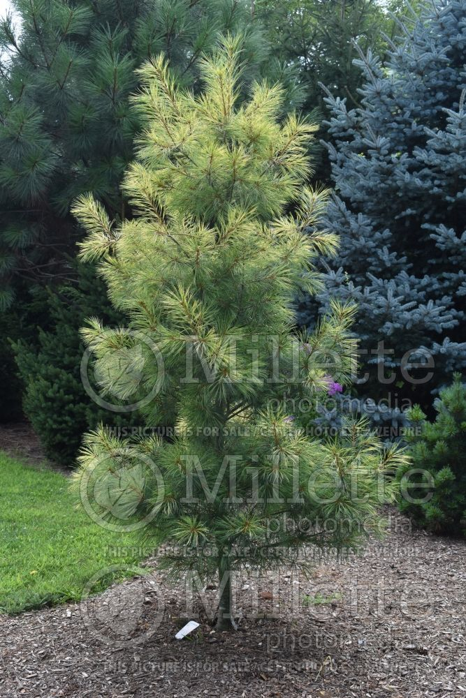 Pinus Golden Candles (Pine conifer) 2
