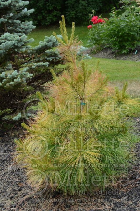 Pinus Louie (Pine conifer) 6