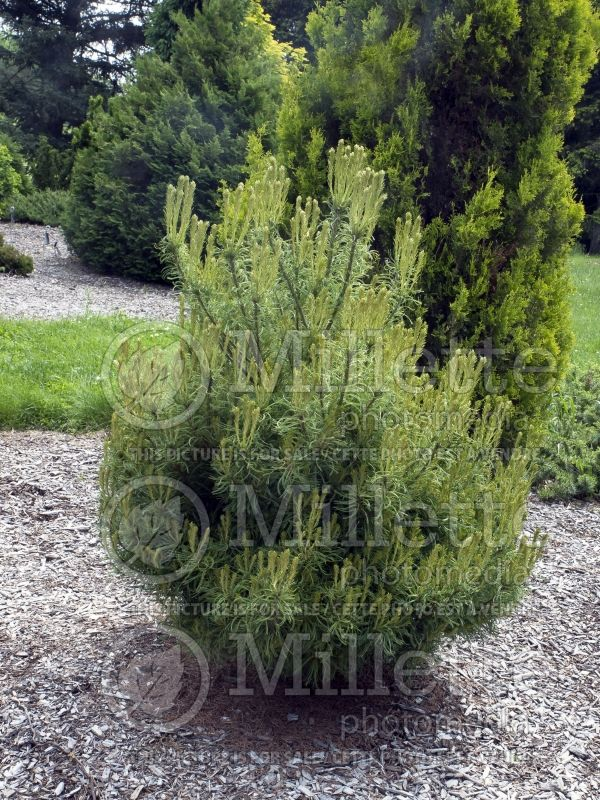Pinus Mini Twists (Pine conifer) 7
