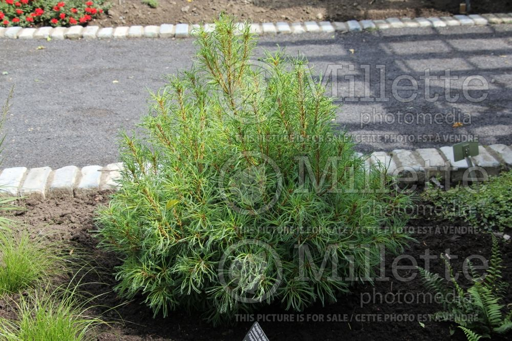 Pinus Mini Twists (Pine conifer) 17
