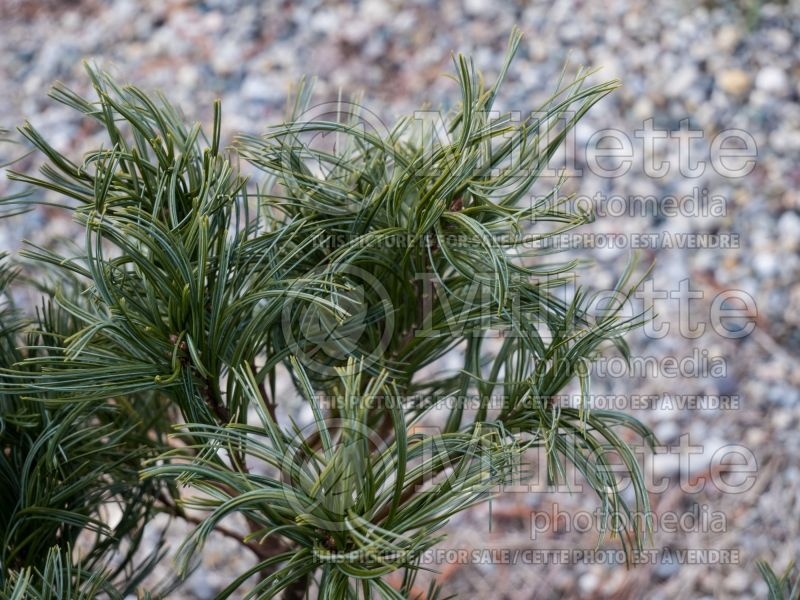 Pinus Mini Twists (Pine conifer) 10