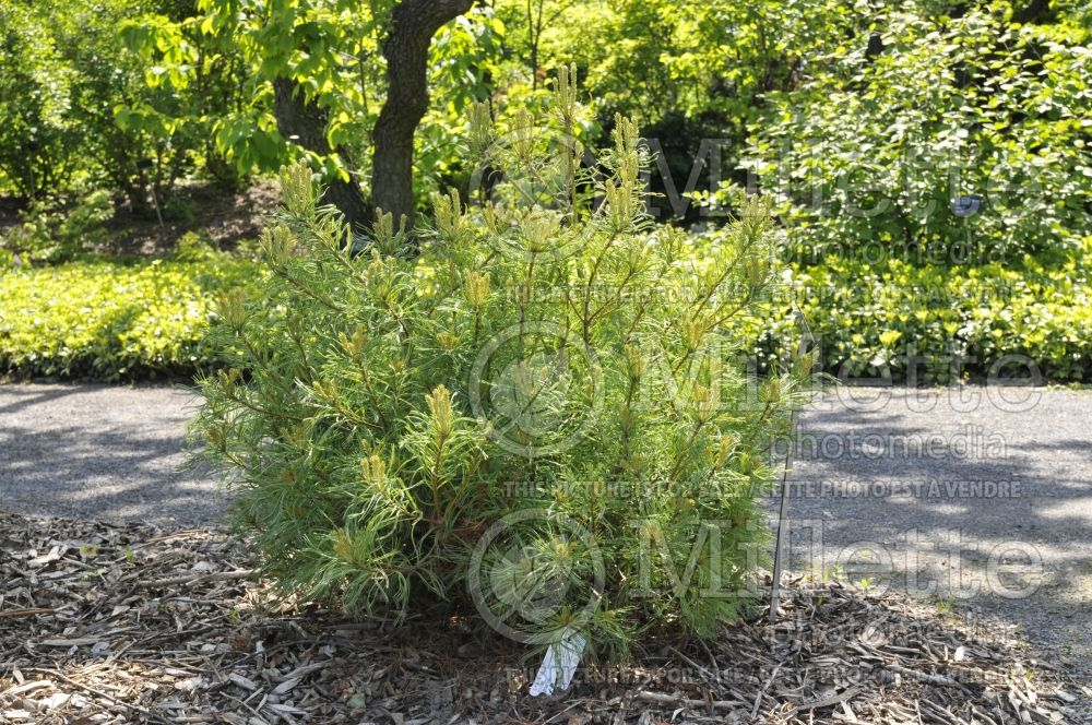 Pinus Mini Twists (Pine conifer) 19