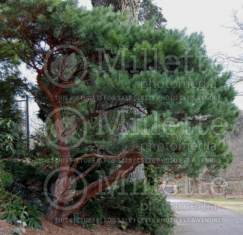 Pinus Watereri (Pine conifer) 1
