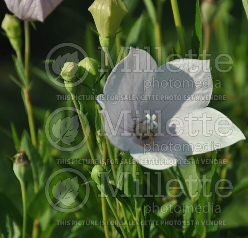 Platycodon Shell Pink (Balloon flower) 1