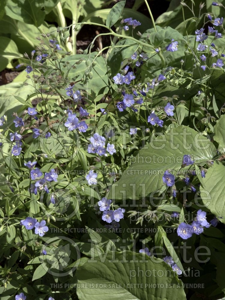 Polemonium Heaven Scent (Jacob's Ladder) 3