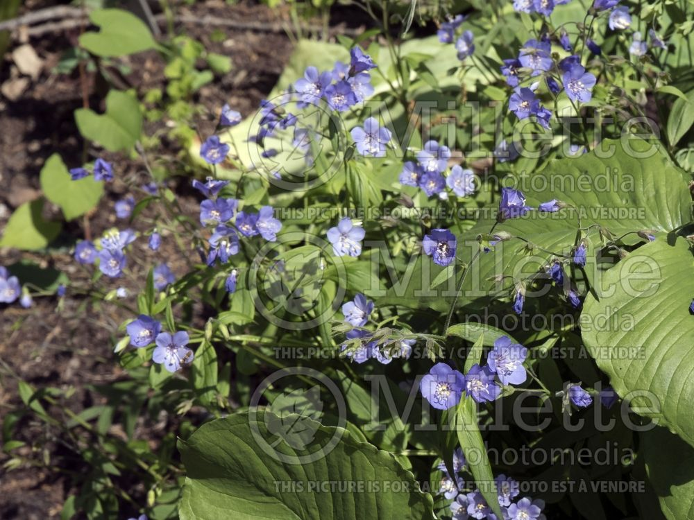 Polemonium Heaven Scent (Jacob's Ladder) 4