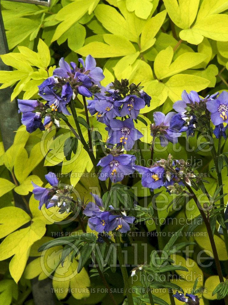 Polemonium Purple Rain (Jacob's Ladder) 2