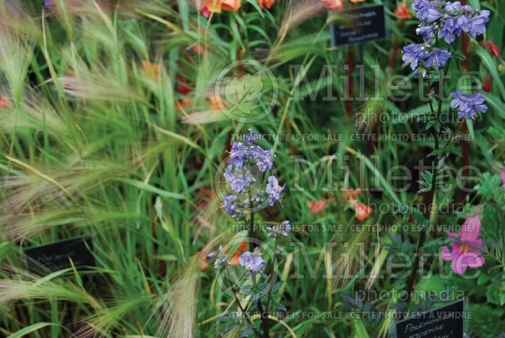 Polemonium Purple Rain (Jacob's Ladder) 3