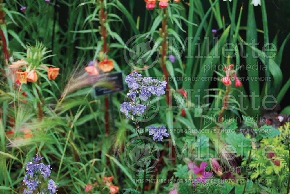 Polemonium Purple Rain (Jacob's Ladder) 4