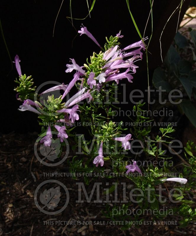 Poliomintha longiflora (Mexican oregano or rosemary mint) 1