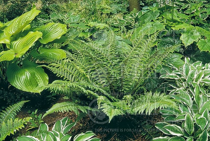 Polystichum braunii (Holly Fern) 1