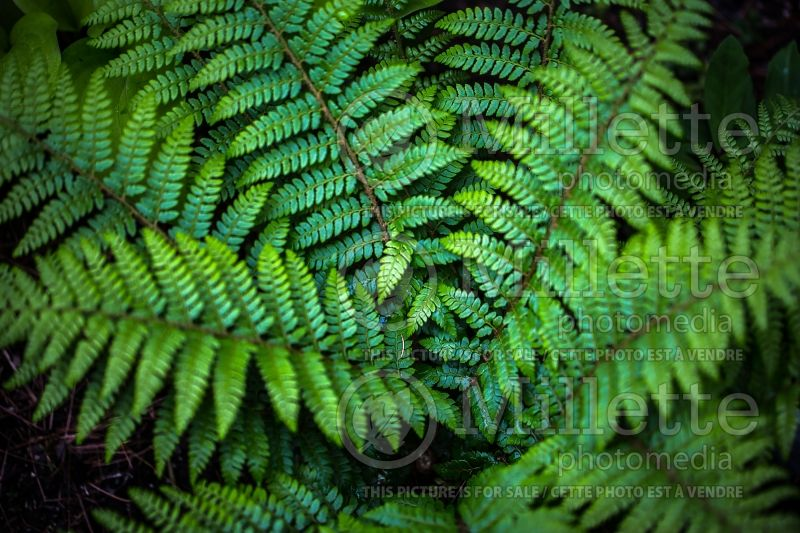 Polystichum dycei (Dyce's Holly Fern) 1
