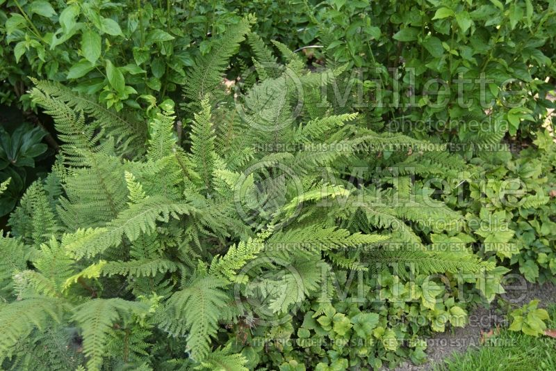 Polystichum setiferum (Soft Shield Fern) 3