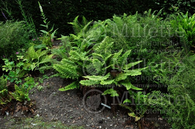 Polystichum Divisilobum (Soft Shield Fern) 1