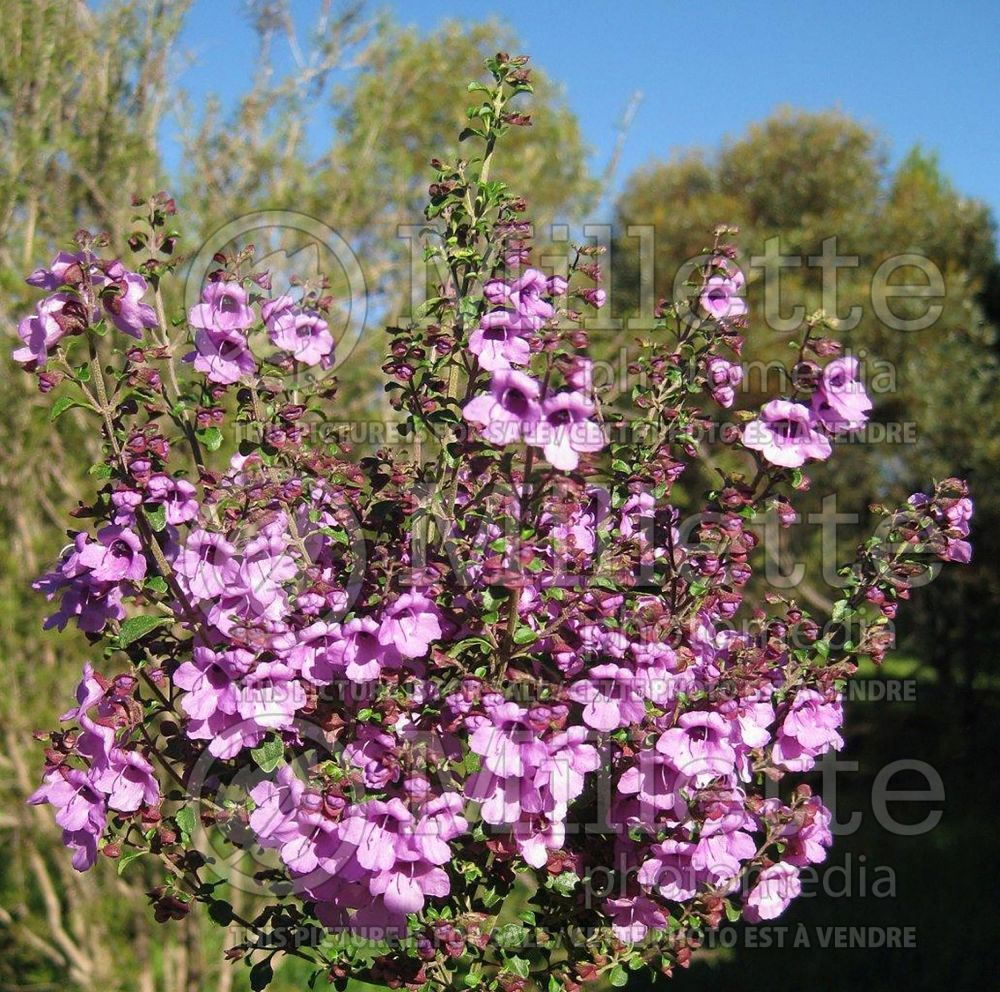 Prostanthera rotundifolia (Mint Bush) 2