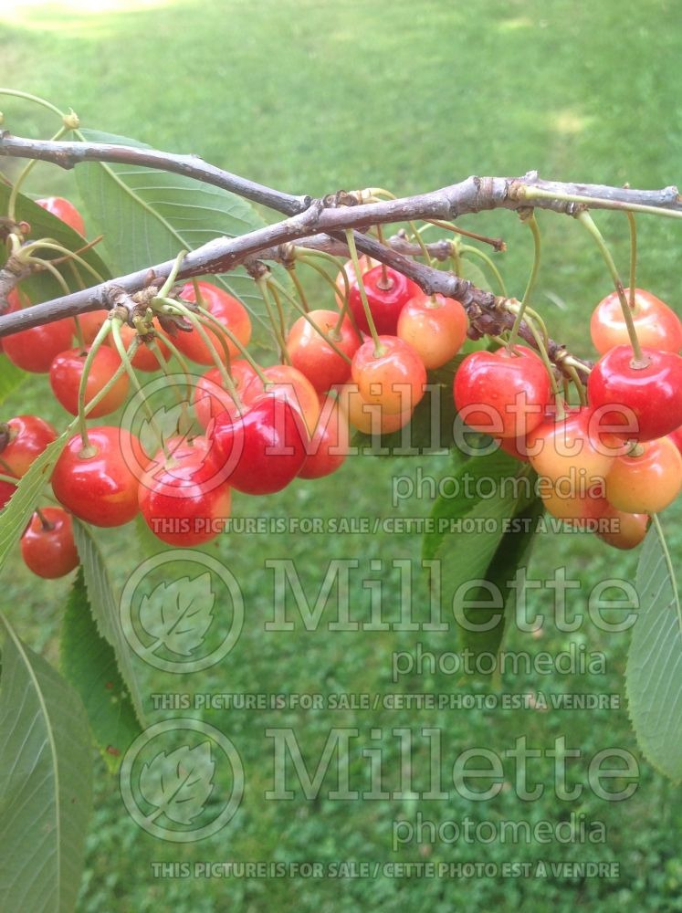 Prunus Napoleon (Cherry) 2