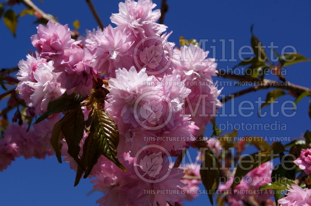 Prunus Extraordinaire aka Extrazam (Cherry tree) 3