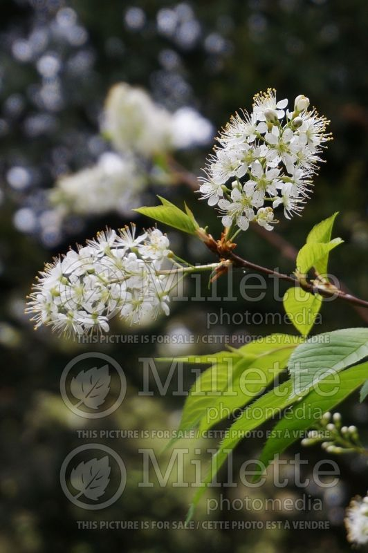 Prunus maackii (Manchurian cherry or Amur chokecherry) 4
