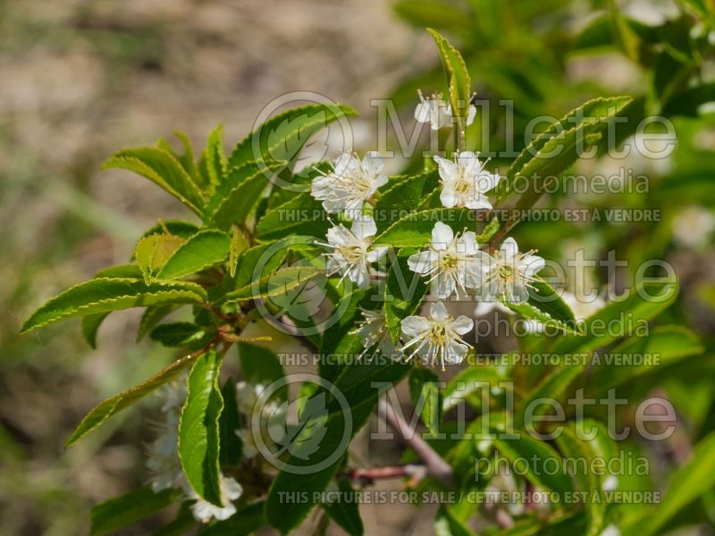 Prunus pensylvanica (fire cherry, pin cherry) 1
