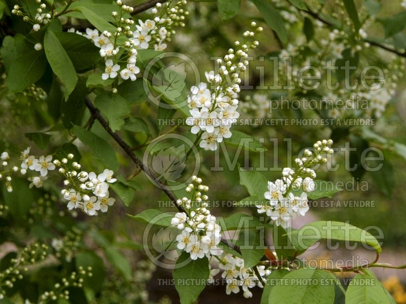 Prunus Schubert (Chokecherry Cherry tree)   6