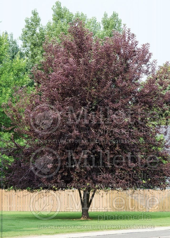 Prunus Schubert (Chokecherry Cherry tree)   7
