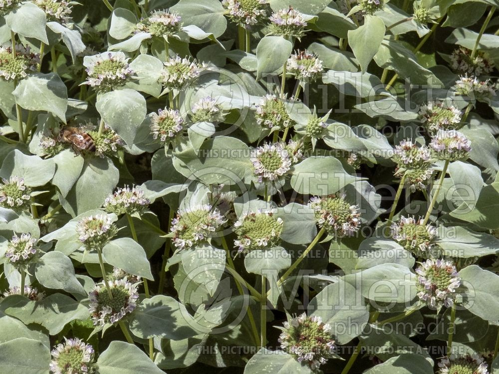 Pycnanthemum muticum (mountain mint) 4