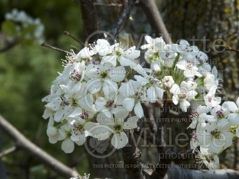 Pyrus Redspire (Callery pear tree) 2