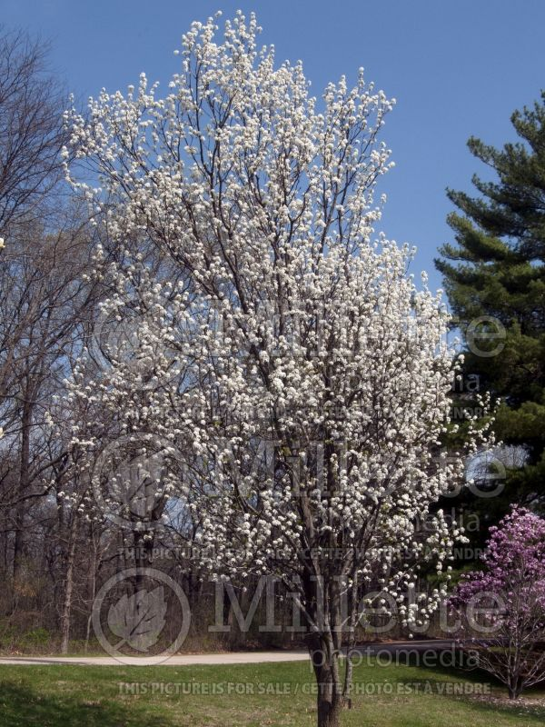 Pyrus Valiant or Valzam (Callery pear tree) 1