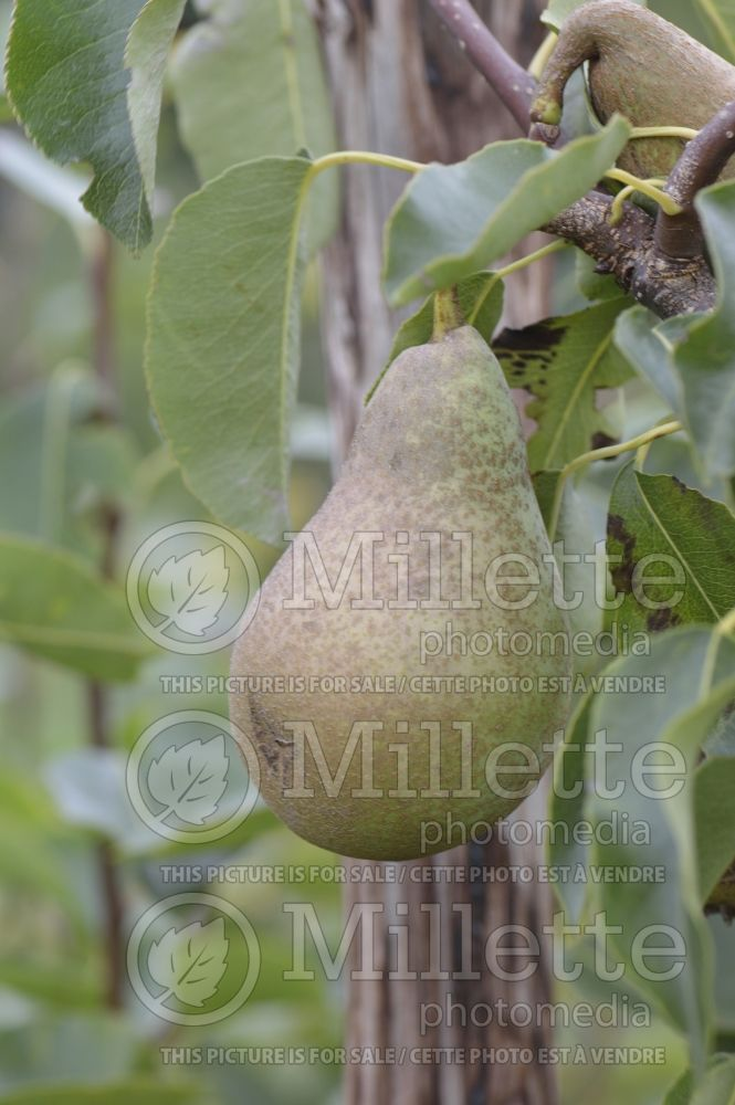 Malus Dreamweaver (pear tree – fruit - poire) 1